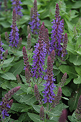 Sensation Deep Blue Sage (Salvia nemorosa 'Sensation Deep Blue') at Green Haven Garden Centre