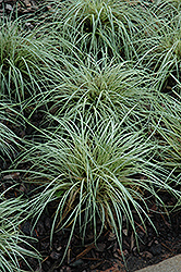 Evergold Variegated Japanese Sedge (Carex oshimensis 'Evergold') at Green Haven Garden Centre