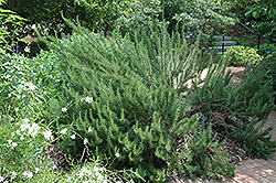 Tuscan Blue Rosemary (Rosmarinus officinalis 'Tuscan Blue') at Green Haven Garden Centre