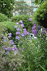 Canterbury Bells (Campanula medium) at Green Haven Garden Centre