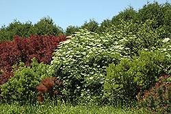 Korsor Elderberry (Sambucus nigra) at Green Haven Garden Centre