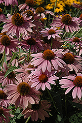 Elton Knight Coneflower (Echinacea purpurea 'Elton Knight') at Green Haven Garden Centre