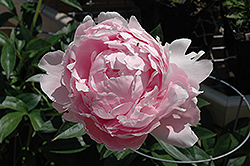 Pillow Talk Peony (Paeonia 'Pillow Talk') at Green Haven Garden Centre