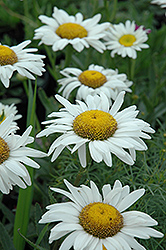 Amelia Shasta Daisy (Leucanthemum x superbum 'Amelia') at Green Haven Garden Centre
