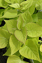 Sweetheart Light Green Sweet Potato Vine (Ipomoea batatas 'Sweetheart Light Green') at Green Haven Garden Centre