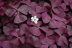 Charmed Wine Shamrock (Oxalis 'Charmed Wine') at Green Haven Garden Centre