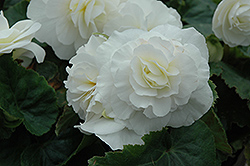 Nonstop® White Begonia (Begonia 'Nonstop White') at Green Haven Garden Centre