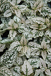 Splash Select White Polka Dot Plant (Hypoestes phyllostachya 'Splash Select White') at Green Haven Garden Centre