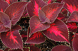 ColorBlaze® Kingswood Torch Coleus (Solenostemon scutellarioides 'Kingswood Torch') at Green Haven Garden Centre