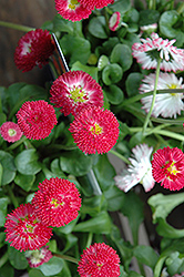 Bellisima Red English Daisy (Bellis perennis 'Bellissima Red') at Green Haven Garden Centre