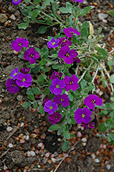 Royal Violet Rock Cress (Aubrieta 'Royal Violet') at Green Haven Garden Centre