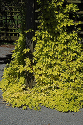 Golden Hops (Humulus lupulus 'Aureus') at Green Haven Garden Centre