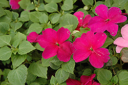 Super Elfin® Violet Impatiens (Impatiens walleriana 'Super Elfin Violet') at Green Haven Garden Centre