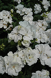 Tango White Geranium (Pelargonium 'Tango White') at Green Haven Garden Centre