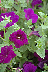 Supertunia® Royal Velvet® Petunia (Petunia 'Supertunia Royal Velvet') at Green Haven Garden Centre