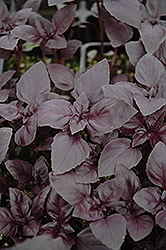 Red Rubin Basil (Ocimum basilicum 'Purpurascens') at Green Haven Garden Centre