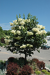 Snowdance Japanese Tree Lilac (Syringa reticulata 'Bailnce') at Green Haven Garden Centre