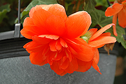 Nonstop® Orange Begonia (Begonia 'Nonstop Orange') at Green Haven Garden Centre
