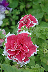 Pirouette Red Petunia (Petunia 'Pirouette Red') at Green Haven Garden Centre