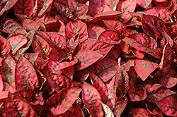 Splash Select Red Polka Dot Plant (Hypoestes phyllostachya 'Splash Select Red') at Green Haven Garden Centre