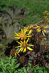 Osiris Cafe Noir Rayflower (Ligularia 'Osiris Cafe Noir') at Green Haven Garden Centre