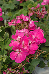 Americana® Orchid Geranium (Pelargonium 'Americana Orchid') at Green Haven Garden Centre