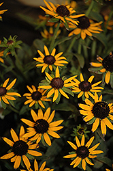Little Goldstar Coneflower (Rudbeckia fulgida 'Little Goldstar') at Green Haven Garden Centre