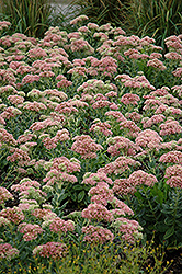 Autumn Joy Stonecrop (Sedum 'Autumn Joy') at Green Haven Garden Centre