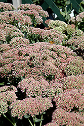 Autumn Fire Stonecrop (Sedum spectabile 'Autumn Fire') at Green Haven Garden Centre
