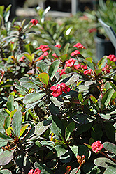 Crown Of Thorns (Euphorbia milii) at Green Haven Garden Centre