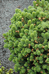 Roundabout Spruce (Picea pungens 'Roundabout') at Green Haven Garden Centre