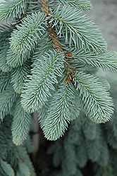 The Blues Colorado Blue Spruce (Picea pungens 'The Blues') at Green Haven Garden Centre