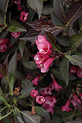 Spilled Wine® Weigela (Weigela florida 'Bokraspiwi') at Green Haven Garden Centre