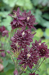 Clementine Dark Purple Columbine (Aquilegia vulgaris 'Clementine Dark Purple') at Green Haven Garden Centre