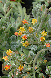 Mexican Fire Cracker (Echeveria setosa) at Green Haven Garden Centre
