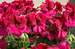 Aristo Burgundy Geranium (Pelargonium 'Aristo Burgundy') at Green Haven Garden Centre