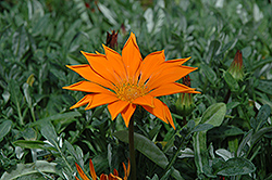 New Day Clear Orange Gazania (Gazania 'New Day Clear Orange') at Green Haven Garden Centre