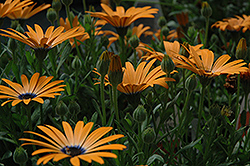 Orange Symphony African Daisy (Osteospermum 'Orange Symphony') at Green Haven Garden Centre