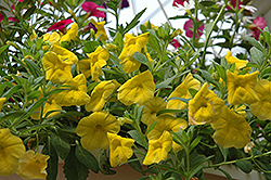 Superbells® Yellow Calibrachoa (Calibrachoa 'Superbells Yellow') at Green Haven Garden Centre