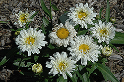 Freak! Shasta Daisy (Leucanthemum x superbum 'Freak!') at Green Haven Garden Centre