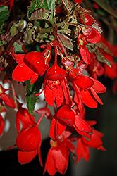 Waterfall® Encanto Falls® Red Begonia (Begonia boliviensis 'Encanto Falls Red') at Green Haven Garden Centre
