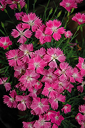 Kahori Pinks (Dianthus 'Kahori') at Green Haven Garden Centre
