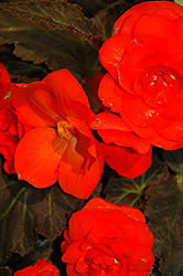 Nonstop® Mocca Deep Orange Begonia (Begonia 'Nonstop Mocca Deep Orange') at Green Haven Garden Centre
