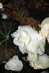 Nonstop® Mocca White Begonia (Begonia 'Nonstop Mocca White') at Green Haven Garden Centre