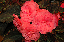 Nonstop® Mocca Pink Shades Begonia (Begonia 'Nonstop Mocca Pink Shades') at Green Haven Garden Centre