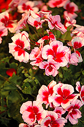 Americana® Rose Mega Splash Geranium (Pelargonium 'Americana Rose Mega Splash') at Green Haven Garden Centre