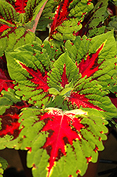 Kong Jr. Rose Coleus (Solenostemon scutellarioides 'Kong Jr. Rose') at Green Haven Garden Centre