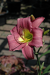 Purple D'Oro Daylily (Hemerocallis 'Purple D'Oro') at Green Haven Garden Centre