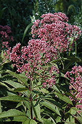 Gateway Joe Pye Weed (Eupatorium maculatum 'Gateway') at Green Haven Garden Centre