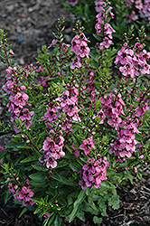 Angelface® Deep Pink Angelonia (Angelonia angustifolia 'Angelface Deep Pink') at Green Haven Garden Centre